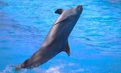 Dolphin (Thanks for over 2 million views!!) Tags: seaworldorlando seaworld canoneosrebelt5 water dolphin chadsparkesphotography mammal dolphindaysshow show orlandoflorida orlando florida