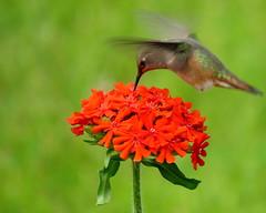 Attack from above (diffuse) Tags: bird backyard flower red maltesecross green lawn hummingbird rufous rufoushummingbird pop colour odc