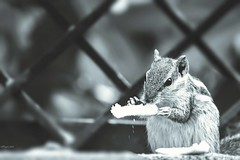 The Foodie (traptiantiwary) Tags: outdoor animal bokeh food indianpalmsquirrel india canon canoneos