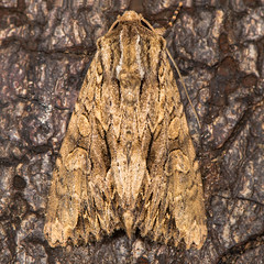Dark arches (Apamea monoglypha) at rest on bark (Ian Redding) Tags: apameamonoglypha british darkarches european lepidoptera noctuidae uk animal bark insect moth nature tree wildlife wood