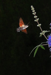 Hummingbird Hawkmoth (paulfarrington46) Tags: hummingbirdhawkmoth santotomas menorca moths