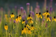 July Prairie Flowers (NaturalLight) Tags: grayheadprairieconeflower prairie coneflower chisholmcreekpark wichita kansas thickspikegayfeather