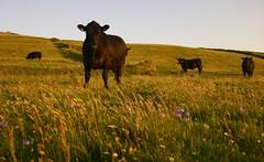 Cattle at Knocklane (flxnn) Tags: cattle animals field summer fields grassland farmland farming rural outdoor 2017 ireland sligo evening