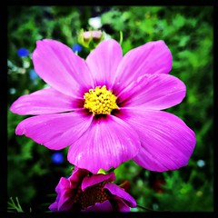 Wildflower in the front garden. #takoma #dc #dclife #washingtondc #iPhone365 #iPhone7plus #iPhone #iPhonemacro #macro  #flower #flowersofinstagram (Kindle Girl) Tags: iphone takoma dc dclife washingtondc iphone365 iphone7plus iphonemacro macro flower flowersofinstagram