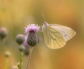 Het klein geaderd witje (Pieris napi)