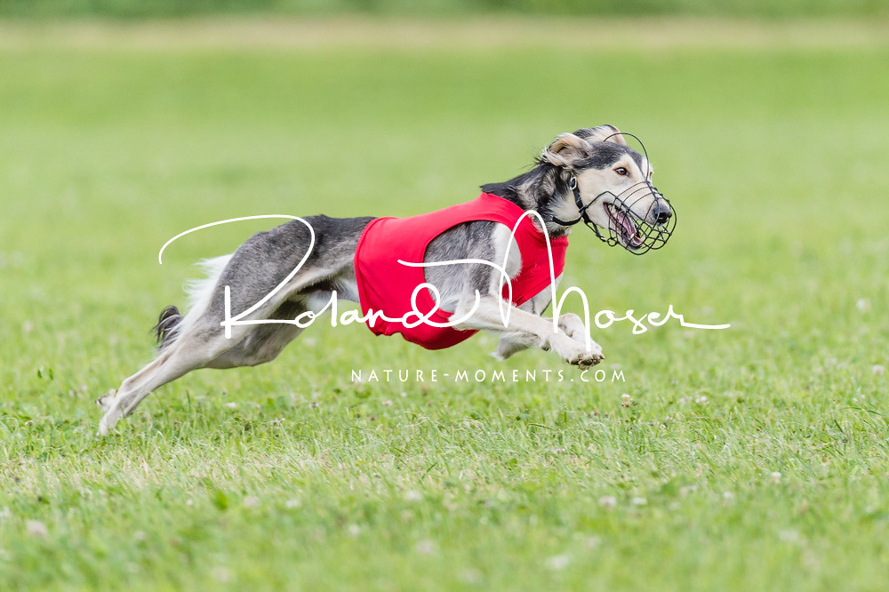 The World's Best Photos of deerhounds - Flickr Hive Mind Afghan Hound Lure Coursing