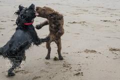 Runswick-Whitby.WEB-6 (LazenbyVisuals) Tags: dog dogs spaniels cocker springer beach walk walking runswick bay yorkshire coast
