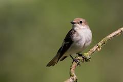 Pied Flycatcher (Simon Stobart) Tags: pied flycatcher female ficedula hypoleuca perched branch stick wood northeast england