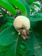 Quince (TakePhotos12) Tags: beautifulnature beauty nature outdoors noperson day daylight green color plant quince أخضر لون greencolor أوراقالشجر leaf unripequince