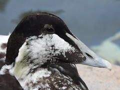 Young common eider (blue33hibiscus) Tags: duck commoneider waterfowl waterbird paradisepark hayle cornwall