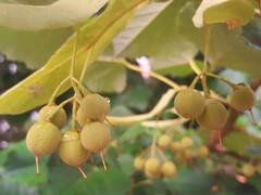 Tilia grandifolia (Iggy Y) Tags: tiliagrandifolia tilia grandifolia spring blossom tree green leaves lipa velelisna linden nature plant day light herb berry