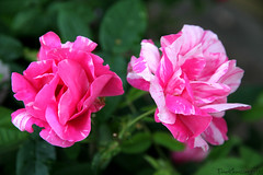 My Polkaroses (tinahkansson) Tags: rose flowerwatcher rosamundi