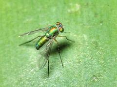 Neon (tomquah) Tags: fly longleggedfly green insects tomquah wingwednesday hww mmos neon canonef100mmf28 canoneos5d raynox250