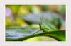 don't look... (Leitratista) Tags: focus constractivecriticism composition explore garden backyard green color throughherlens grasshopper leaf dofart dof bokeh moment mood nature naturemood naturelover naturesart naturedrama naturehippys lovenature nikonshots nikondslr nikoncapture nikond3400 kitlens
