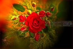 Red-Roses-DSC_3011 (fatima_suljagic) Tags: fineartprints fatimasuljagicmelbourne photographer artstudiomaja artstudiomajacomau melbourne melbournephotographer melbournecity australia australianphotographers flowers roses flower photography red