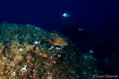 IMG_6028 (davide.clementelli) Tags: scuba underwater underwaterlife diving dive immersione portofino colori colors colore color fishes fish pesci grouper cernia