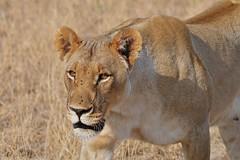 Intense Lioness at close range (cirdantravels (Fons Buts)) Tags: panthera leo lion leeuw löwe bigcat feline carnivore predator madikwe felidae
