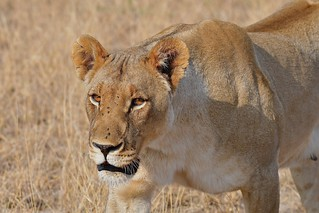 Intense Lioness at close range