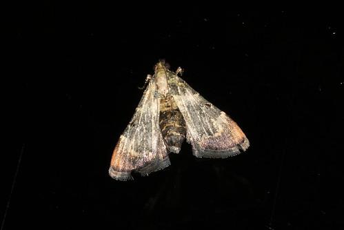 Lepidogma sp.