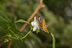 IMG_5416-1 (vlee1009) Tags: behavior 懸鉤子 butterfly flower feeding 2017 canon july summer taiwan macro nature 100mm forest 60d 北橫