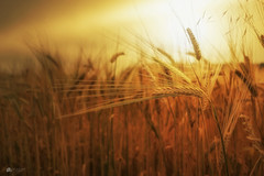 Pure gold... (Kerriemeister) Tags: gold golden barley crops cereal harvest sunset topazfilters glow summer