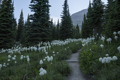"Beargrass along the Piegan Pass trail • <a style=""font-size:0.8em;"" href=""http://www.flickr.com/photos/63501323@N07/35802378552/"" target=""_blank"">View on Flickr</a>"