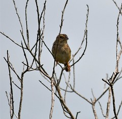 Suzanne Zuckerman, Bachman's Sparrow picture and this one I took yesterday at Kissimmee Prairie Preserve State Park.
