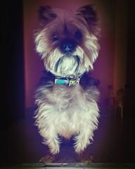 #doggy #dog #pet #dark #darkness #yorkshire #yorkie (Cindi Castro) Tags: pet doggy yorkie yorkshire darkness dark dog