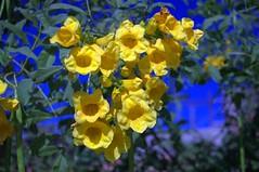 Jataí, Goiás, Brasil (Proflázaro) Tags: brasil goiás jataí jardim flor macro cidade natureza ecologia canteiro planta