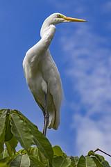 Ardea alba (Rui Pará) Tags: ardea alba garça branca pará brazil amazon bird birds nature natureza