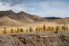 Common Magpie - Pica Pica 9358 (Ursula in Aus) Tags: mongolia wtf asia autumn larch trees chuluutrivergorge chuluutgorge