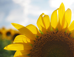 """""""Here comes the sun"""" (happiness is...photography) Tags: yellow shadow shallowdof flower sun sunflower ruleofthirds sky blue green outside field open"""
