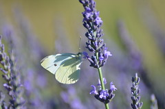 Morning butterfly (dfromonteil) Tags: butterfly papillon lavande lavender bug insect insecte animal plant plante blanc white purple violet pourpre vert green macro bokeh light lumière sunlight ensoleillé nature eye oeil regard look