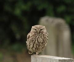 Little Owl (Athene noctua) (westoncfoto) Tags: