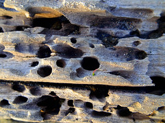 Holey driftwood (jo.elphick) Tags: nsw australia driftwood decay salty northdurras bleached