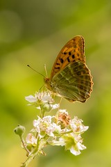 Silver-washed Fritillary (Martin F Hughes) Tags: silver washed fritillary butterfly devon dartmoor martin hughes canon 7d wildlife