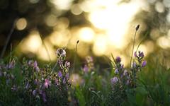 Bokeh 2 (Florian.Schäfer) Tags: outdoor zeiss cy flower plant bokeh 50mm