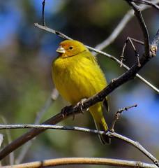Jilguero. (jagar41_ Juan Antonio) Tags: aves animal jilguero pájaros pájaro