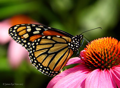 Summer Monarch (JamesEyeViewPhotography) Tags: butterfly summer monarch cone flowers botanical gardens jameseyeviewphotography