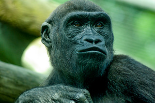 Young ape (1)