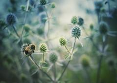 Bumblebee at work (VintageLensLover) Tags: manualfocus 50mm tessar carlzeiss sommer hummel outdoor natur depthoffield dof schärfeverlauf schärfentiefe bokeh sonyalpha sonya7m2 sonya7ii