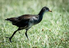 Im a Moorhen (Raginmund) Tags: moorhen waterbird birds wildlife essex uk nikon sigma nature