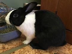 Violet the Bunny (Memory Box Photos) Tags: bunny bunnies bunnyrabbit cutepets rabbit rabbits cute cuteanimal cuteanimals pets animal animals dutchrabbit dutchrabbits lapin
