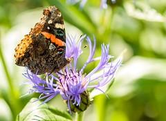 Butterfly (Karen_Chappell) Tags: butterfly insect nature macro garden flower floral bokeh green purple orange canonef100mmf28usmmacro botanicalgarden redadmiral