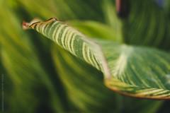 Ambiance tropicale (Adeline Morel Photographie) Tags: grenoble jardin ville été feuilles nervures vert jaune rouge lumineux coloré diagonale courbes verdure plante