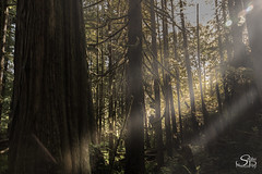On the Way to Avatar Grove (Selkii's Photos) Tags: ancienttrees avatargrove bokeh britishcolumbia canada fog mist oldgrowthforest pacificnorthwestrainforest portrenfrew protectedforest trees vancouverisland