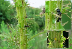 Back in the garden - 17 & 18 VII 2017 (el.gritche) Tags: hymenoptera france 40 garden colletidae hylaeus cornutus hylaeuscornutus female nest behavior cirsiumpalustre