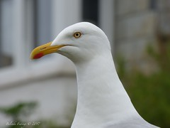 Eye there Seagull (Belinda Fewings (3 million views. Thank You)) Tags: belindafewings panasoniclumixdmc bokeh city street seaside colour colourful artistic pbwa creativeartphotograhy creative arty beautiful beautify beauty lovely outdoors outside out best depthoffield garden color colours colors interesting interest bbcspringwatch seagull portisaac cornwall watching looks looking july