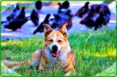 Dog & pigeons (Ioan BACIVAROV Photography) Tags: chien pigeon bird birds bokeh