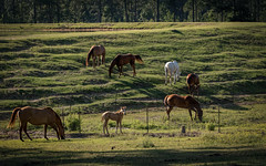 Hangin' With the Big Boys (TuthFaree) Tags: elements fencefriday hff fence horses colt rural grazing pond ga swga georgia light